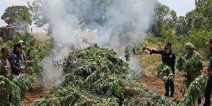 Lice'de 5 günde 20 milyon kök kenevir imha edildi