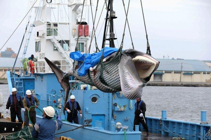 Japonya 31 yıl aradan sonra ticari balina avcılığına başladı