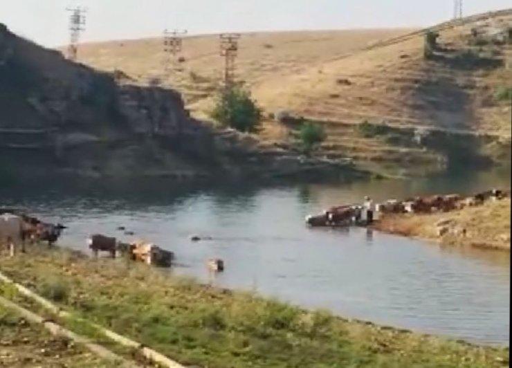 Büyükbaş hayvanların Fırat Nehri'nden tehlikeli geçişi