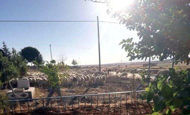 Kabristanda koyun otlatılmasına tepki