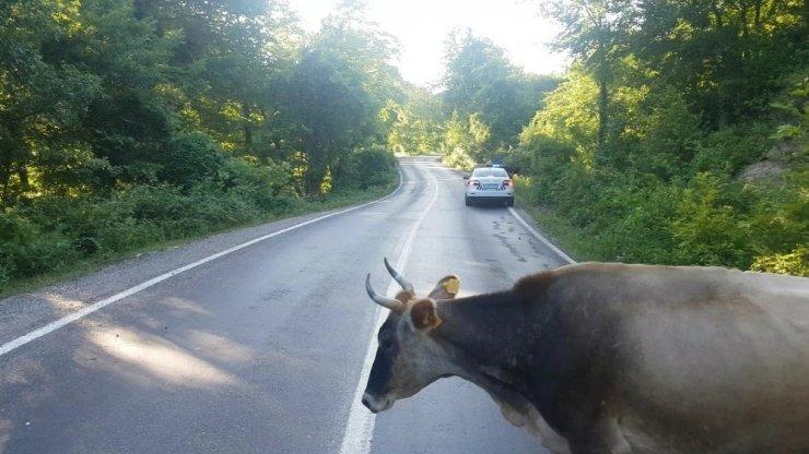 Karayolunda başıboş hayvanlar trafiği tehlikeye düşürüyor