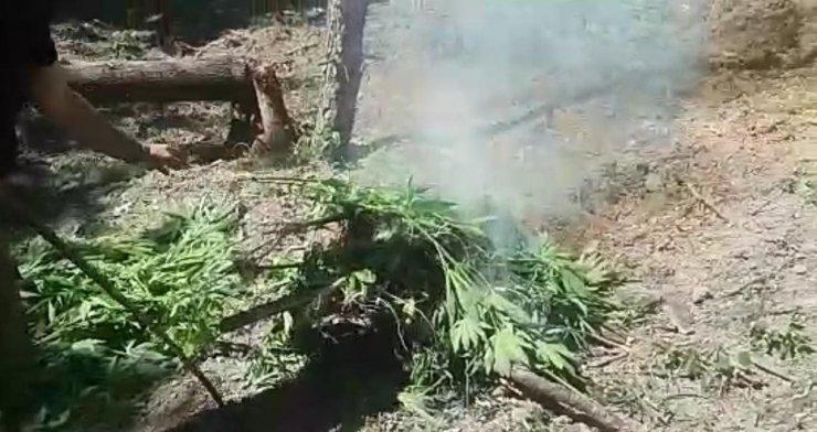 Drone ile bulunan ormanlık alandaki kenevir tarlaları imha edildi
