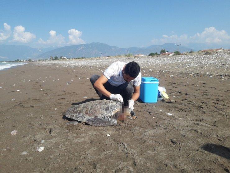 Kumluca sahilinde yaralı caretta caretta bulundu