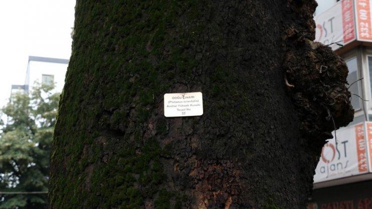 Tarihi çınar ağaçlarında bakım devam ediliyor