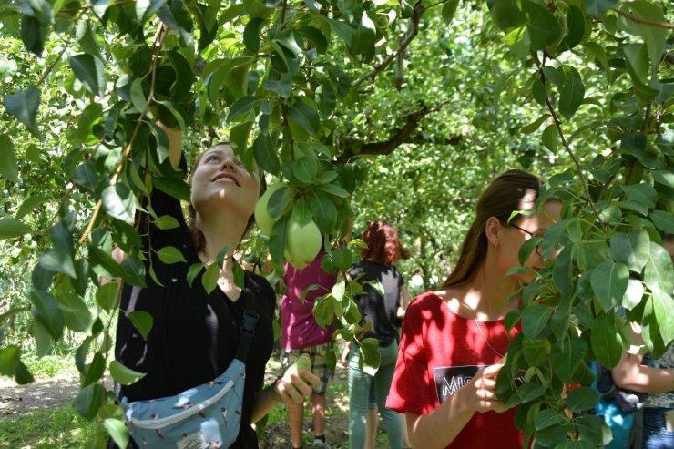 Avrupalı öğrencilerin armut hasadı