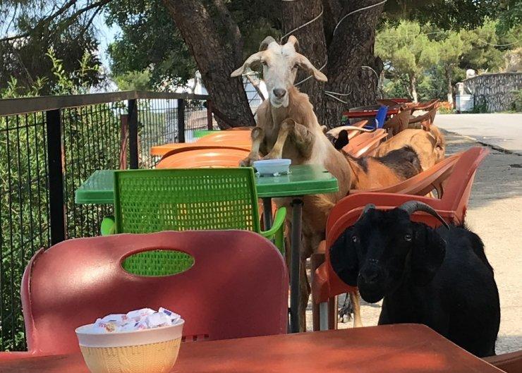 Sevimi keçiler kafeyi bastı