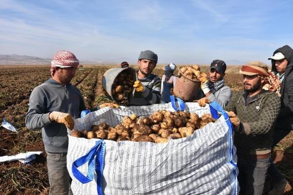 Patates üreticisi, hasattan memnun