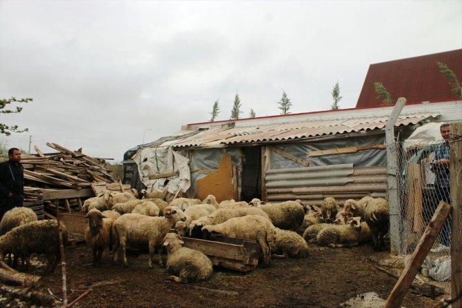 konyada-agila-giren-kurtlar-20-koyunu-telef-etti.jpg